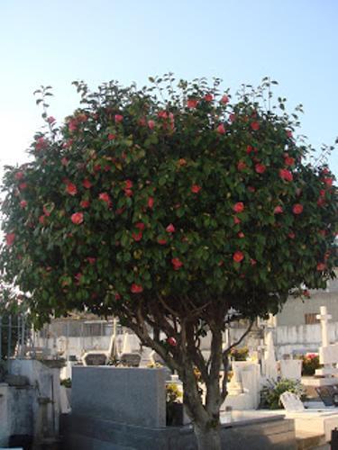 A japoneira no cemitério de Nogueira da Regedoura